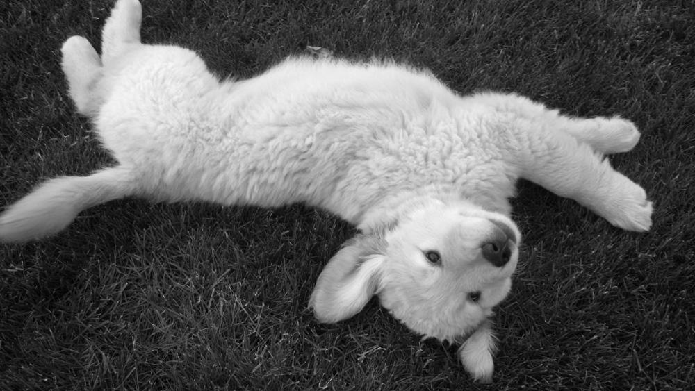 Άσπρος σκύλος